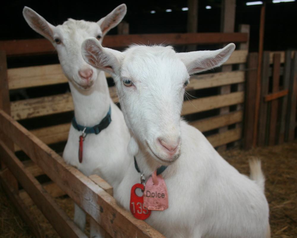 kupit-kozyu-spermu