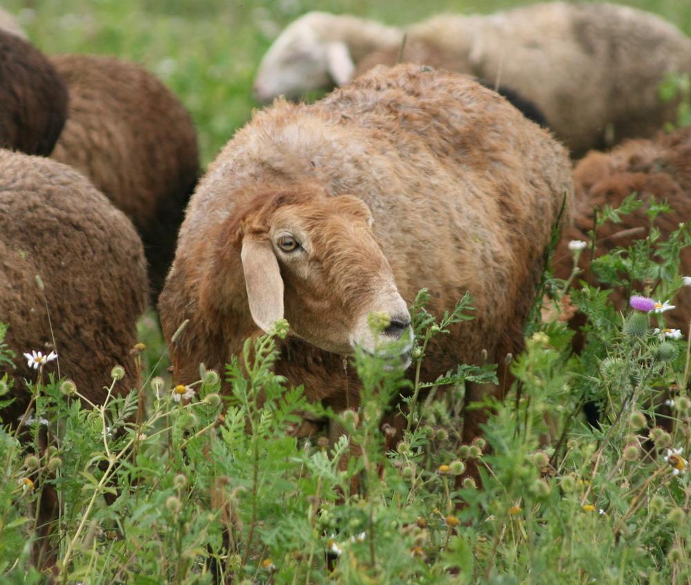 овцы породы курдючные фото