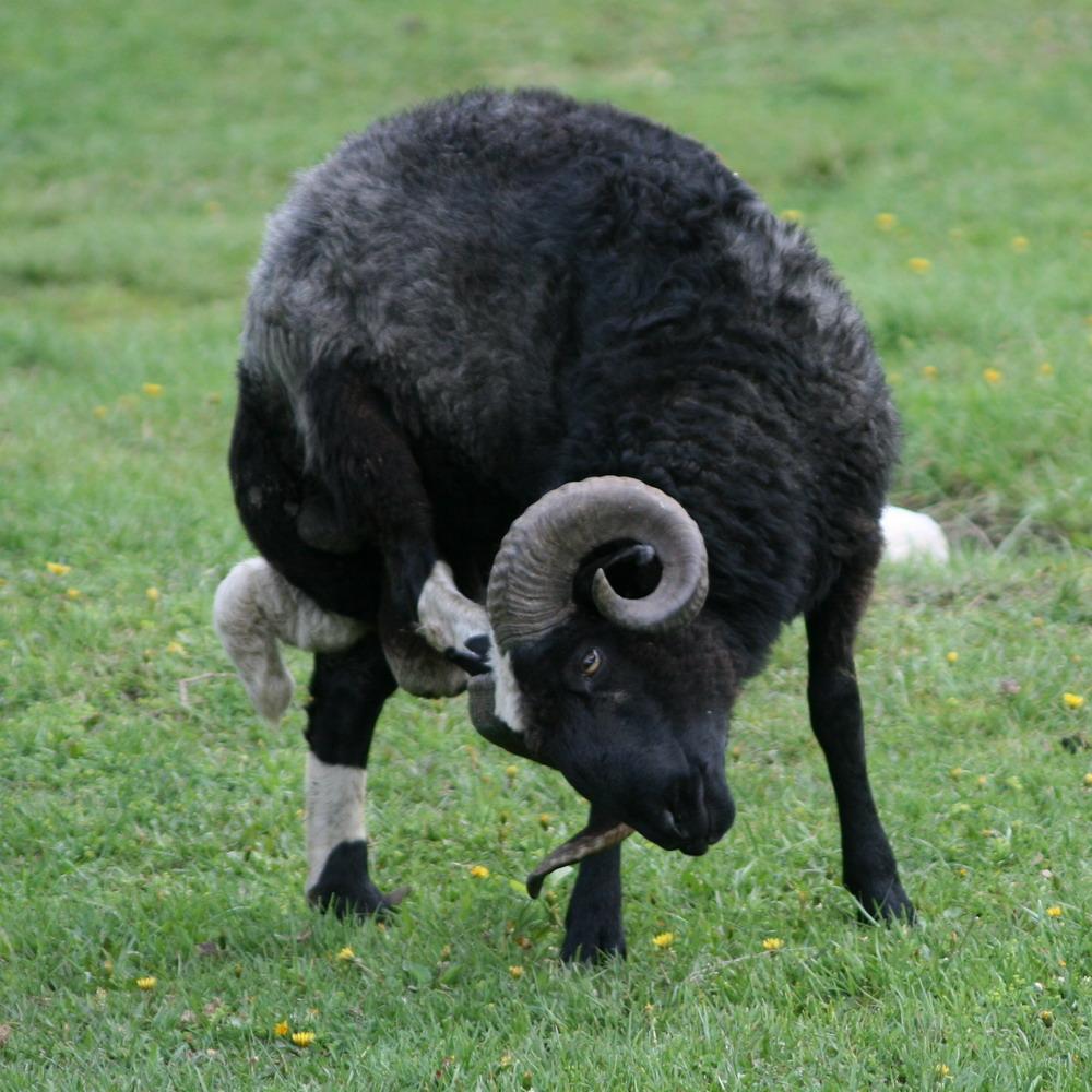 Карачаевская порода овец из Архыза и Теберды: http://www.bememu.ru/index.php/2011-11-09-17-58-24/ovtsy-karachaevskie-porody
